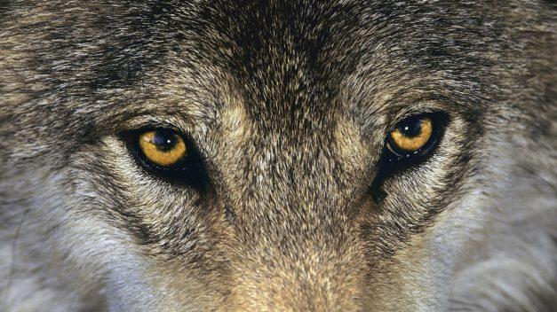 Wolf Eyes Close Up Wallpaper