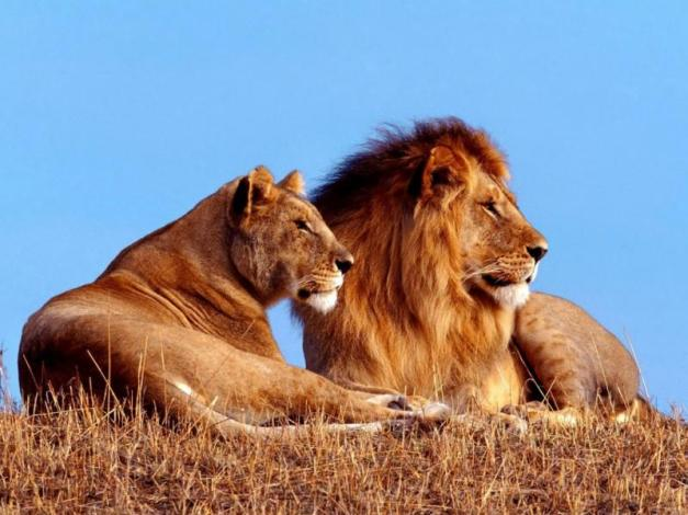 male-and-female-lion-photos-2