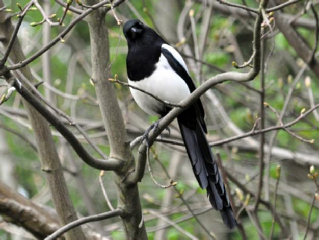 big-beady-magpie